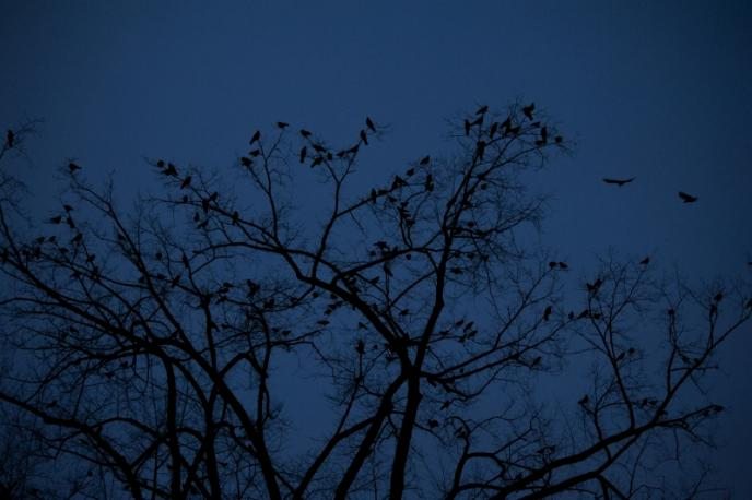 Crows at Penn State
